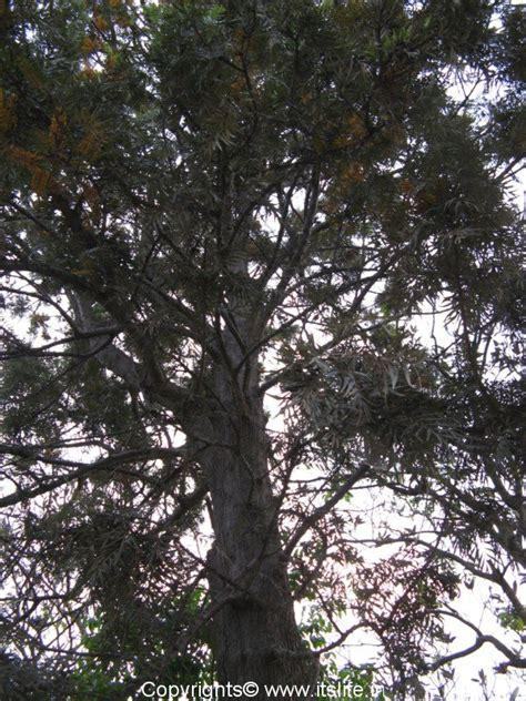 silver oak tree gardening tropical trees grevillea