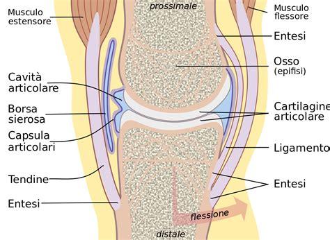 articolazione mobile articolazione