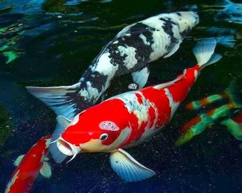gambar tato keren ikan koi 1001 gambar keren gambar ikan koi