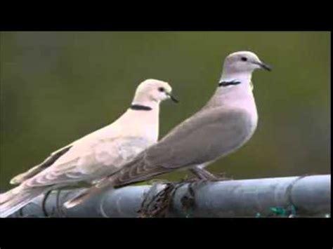 bird song uk collared dove youtube