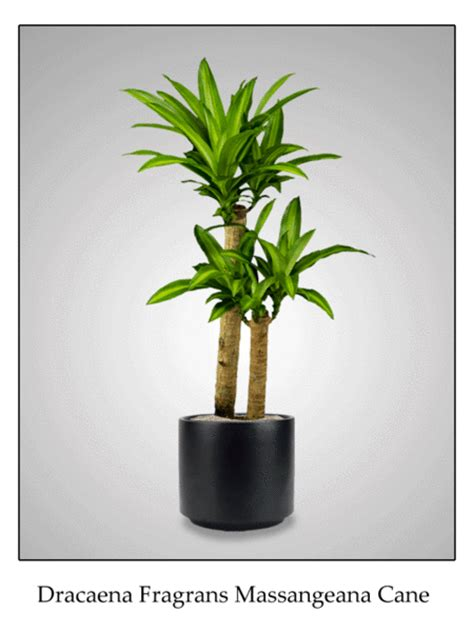 best low light indoor trees low light indoor plants from interior plantscapes
