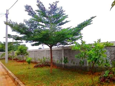 Jual Bibit Bonsai Surabaya jual pohon ketapang kencana di surabaya jual bibit tanaman