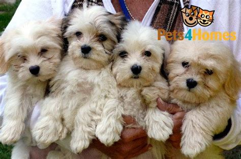havanese puppies uk kc registered havanese puppies for sale bournemouth dorset pets4homes