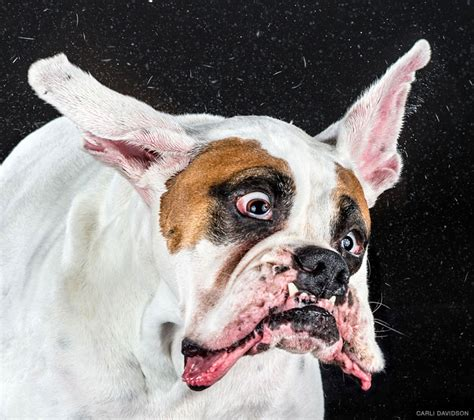designboom dogs jowls flap and fur flies for shake dog photos by carli
