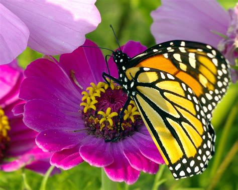 imagenes de mariposas national geographic atraindo borboletas para o seu jardim jardim das ideias