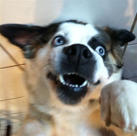 pomeranian x husky puppies pomeranian husky mix photograph dogs pomeranian husky mix