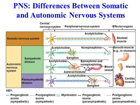 difference between div and section section 35 3 divisions of the nervous system section 35 3