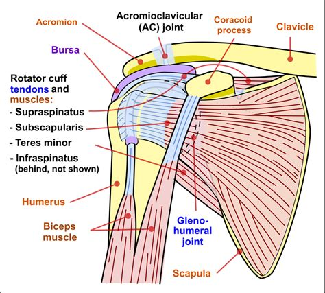 shoulder diagram file shoulder joint svg wikimedia commons