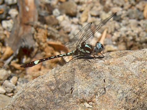 State Of Az Records White Tailed Sylph News Arizona Dragonflies