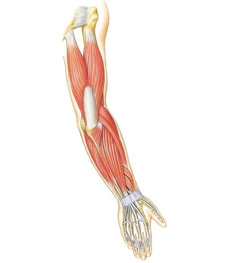 biceps diagram arm muscles diagrams diagram site