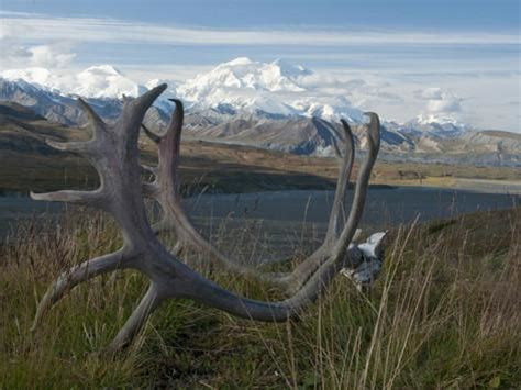 shed caribou antlers on the tundra in front of mt