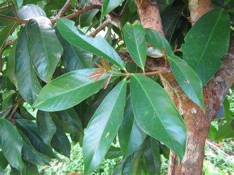 Daun Jambu Biji Klutuk 15 manfaat dan khasiat daun jambu air untuk kesehatan khasiat