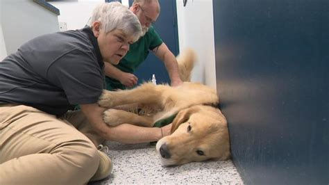 golden retriever cancer rate 3 000 golden retrievers help shed light on high cancer rate all breaking news