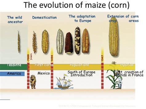 evolution of corn maize syn bio graphic ideas