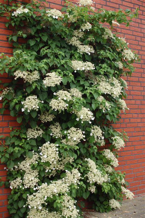 climbing hydrangea seeds hydrangea anomala petiolaris