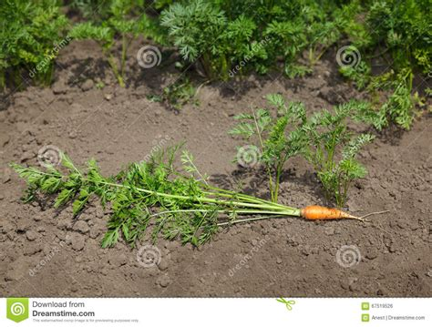 Laying Out A Vegetable Garden Carrot With Top Stock Photo Image 67519526
