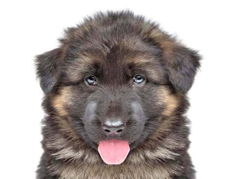german shepherd names german shepherd names gsd names the knownledge