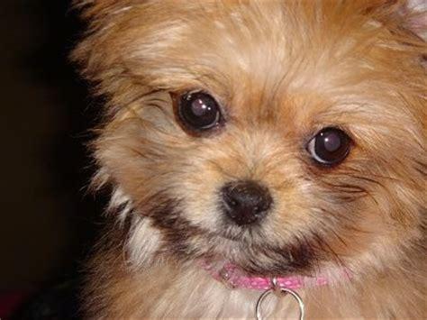 pomeranian and shitzu mix shiranian breed pictures 1