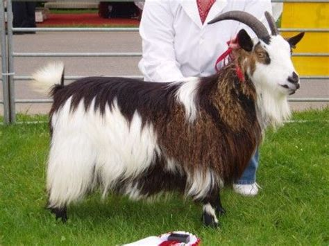 goats as house pets goats as house pets constitution today you can find them as house pets and at