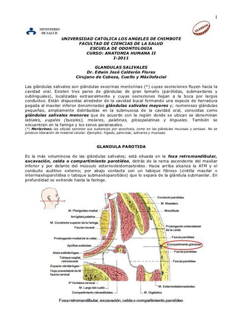 glandula submaxilar anatomia anatomia de las glandulas salivales