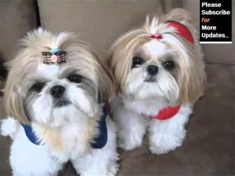 shih tzu puppies for sale in jackson ms lhasa apso puppies dogs for sale in jackson