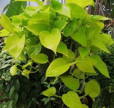 Pohon Tanaman Sirih Gading Centong tanaman sirih gading kuning neon pothos bibitbunga