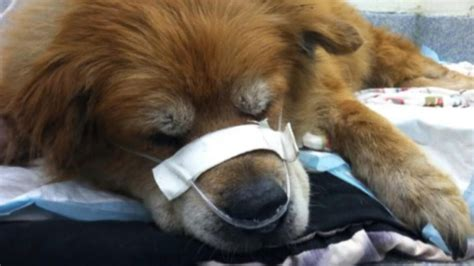 fire dog house hero rescue dog recovering after saving owner from house fire abc news