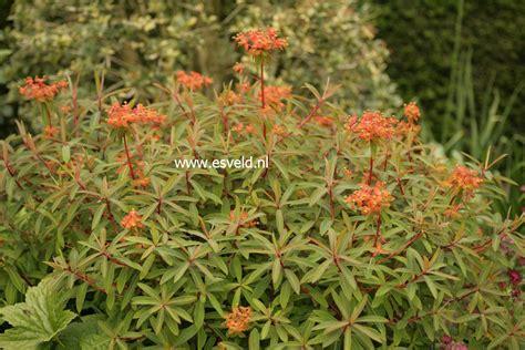 picture and description of euphorbia griffithii dixter