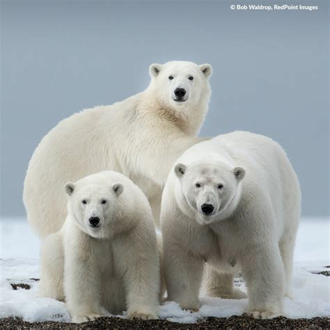 polar bear polar bear see polar bears in the wild