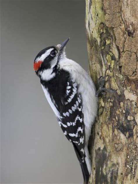 a downy woodpecker picoides pubescens feeds on a branch