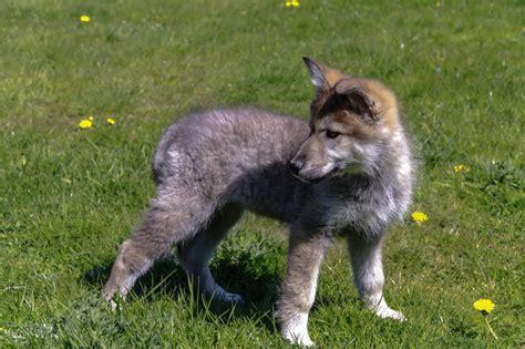 puppies n wolf puppies bradford on avon wiltshire pets4homes