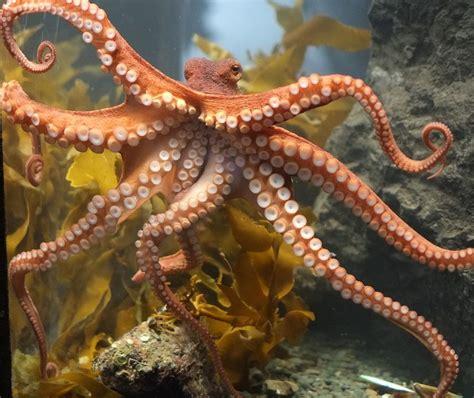 octopus l pieuvre