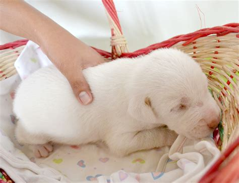 taking care of newborn puppies how to take care of a weak newborn puppy 5 steps with pictures