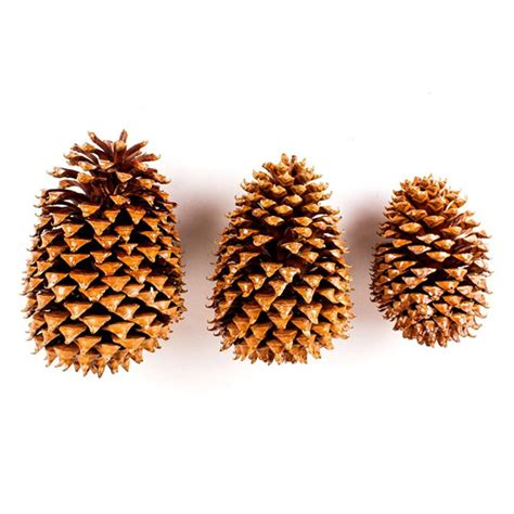 big pine cone varnished woodzone