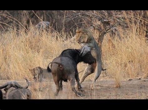 pugs fighting lions wolves vs a fight food doovi