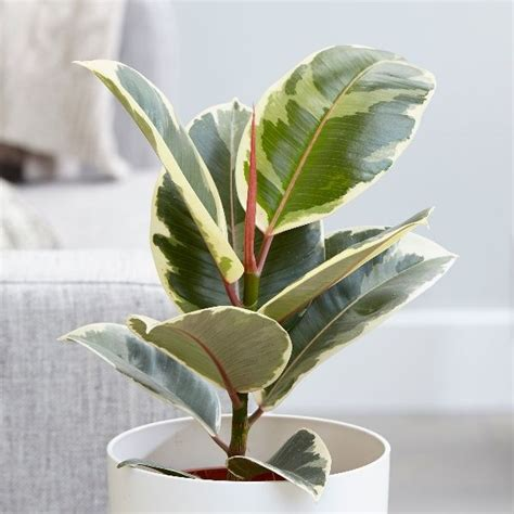 buy rubber plant ficus elastica tineke  delivery