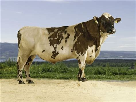 braut norwegian red bull the dairy crossbred blog an independent look at