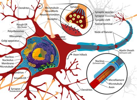 brain cell diagram file complete neuron cell diagram en svg
