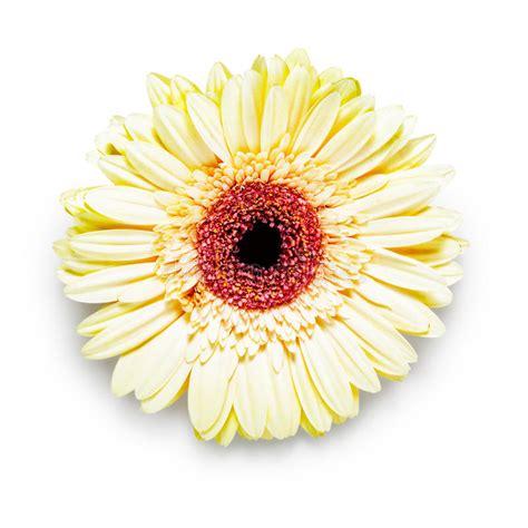 Gerbera Designs Xl Messenger by Gerbera Flower Stock Photo Image 60250443