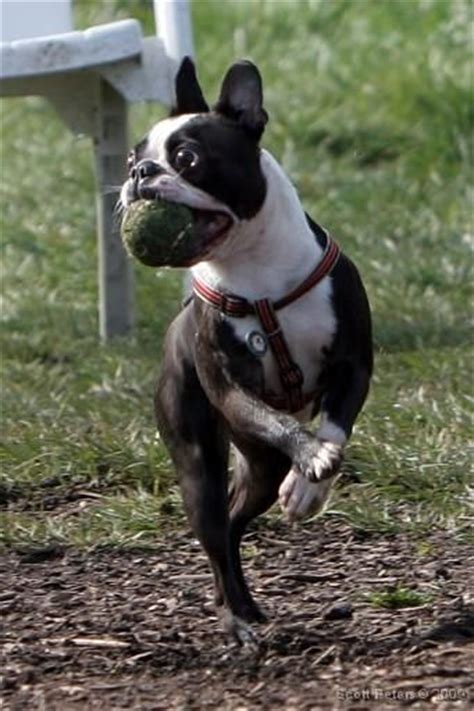 boston terrier puppies seattle 17 best images about boston terriers em on for dogs boston