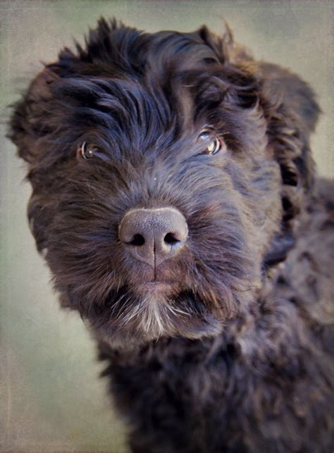 bouvier des flandres puppies bouvier des flandres puppy by feeferlump on deviantart