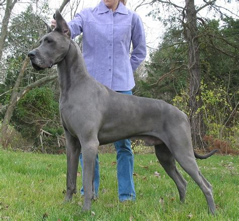 grey great dane puppy great dane big animal literature