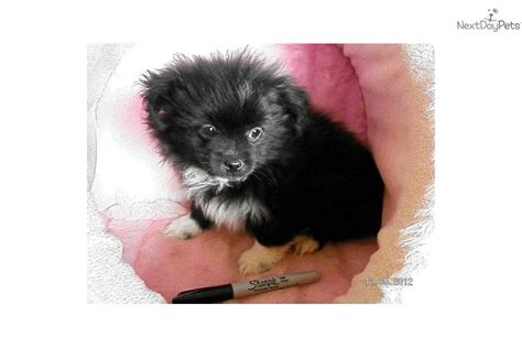 peekapom puppies meet rascal a peek a pom puppy for sale for 250 fluffy and sweet