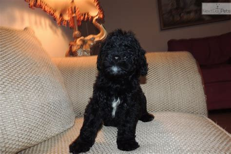 goldendoodle puppy nipping gigi goldendoodle puppy for sale near boston