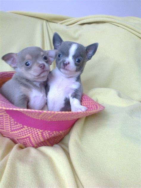 teacup puppies for adoption near me 30 beautiful teacup chihuahua puppies kittens wallpapers