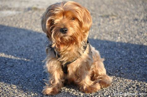 silky yorkie terrier breeds large terrier breed breeds picture