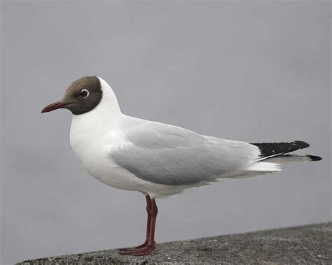 Headed L by Black Headed Gull Audubon Field Guide