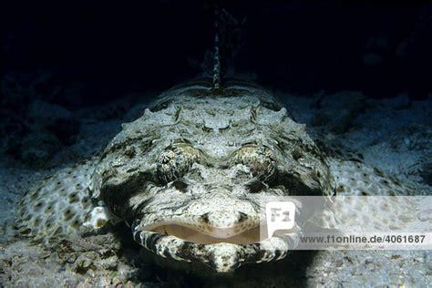 teppich krokodilfisch afrika hurghada rotes meer 196 gypten teppich