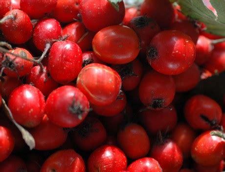 alimento funzionale nuove evidenze sull azzeruolo come alimento funzionale