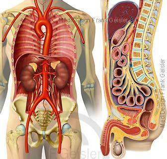 wo liegen die organe beim menschen anatomie organe der baucheingeweide im retroperitonalraum